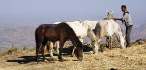 Pferde in Äthiopien